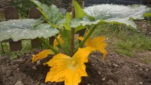 flor calabacín