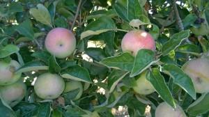 manzanas septiembre
